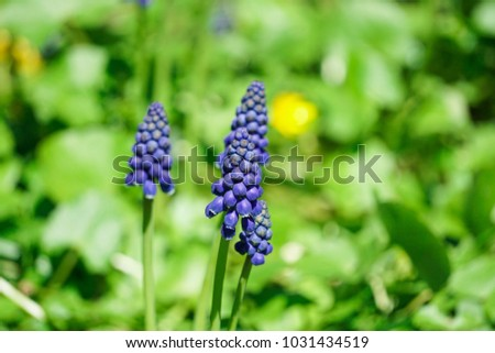 The dark blue buds of muscari flowers in spring #1031434519
