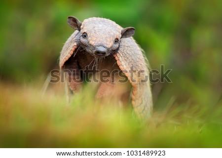 Six-Banded Armadillo, Yellow Armadillo, Euphractus sexcinctus, Pantanal, Brazil. Wildlife scene from nature. Funny portrait of Armadillo, face portrait, hidden in grass.  Brazilian cute animal.