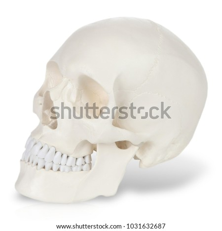 Plastic model of human scull #1031632687