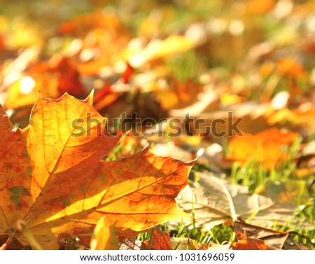 close up of an autumn leaf on the ground back lit with sunlight  #1031696059