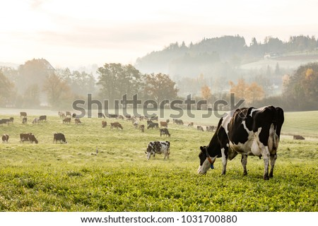 Red and black Holstein cows are grazing on a cold autumn morning on a meadow in Switzerland #1031700880