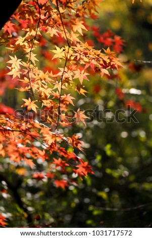 Red maple leaves in the autumn sunshine #1031717572