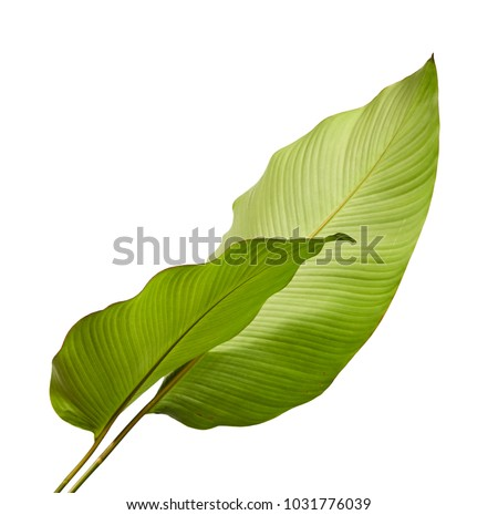 Calathea foliage, Exotic tropical leaf, Large green leaf, isolated on white background with clipping path #1031776039