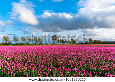 Tulips field in Holland #1031860213