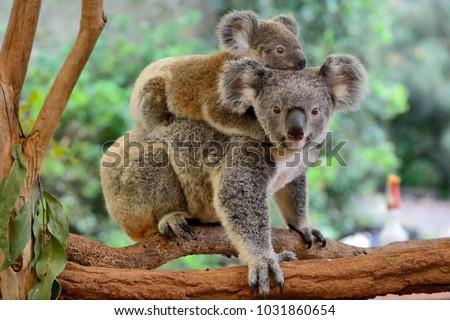 Mother koala with baby on her back, on eucalyptus tree. #1031860654