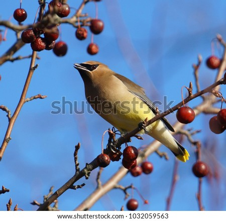 Cedar waxwing bird standing on the branch eating red fruit #1032059563
