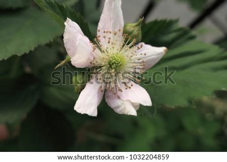 blackberry fruit flower #1032204859