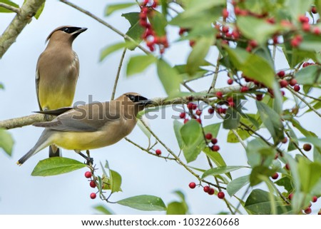 Two Cedar Waxwings on Berry Laden Branches #1032260668