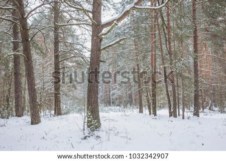 Winter in the Pine Forest. Nature in the vicinity of Pruzhany, Brest region, Belarus. #1032342907