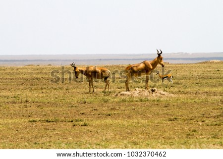 African antelope - the hartebeest (Alcelaphus buselaphus), also known as kongoni in Serengeti National Park, Tanzanian national park in the Serengeti ecosystem in the Mara and Simiyu regions #1032370462