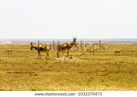 African antelope - the hartebeest (Alcelaphus buselaphus), also known as kongoni in Serengeti National Park, Tanzanian national park in the Serengeti ecosystem in the Mara and Simiyu regions #1032370471