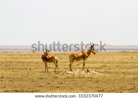 African antelope - the hartebeest (Alcelaphus buselaphus), also known as kongoni in Serengeti National Park, Tanzanian national park in the Serengeti ecosystem in the Mara and Simiyu regions #1032370477