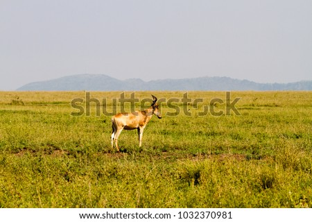 African antelope - the hartebeest (Alcelaphus buselaphus), also known as kongoni in Serengeti National Park, Tanzanian national park in the Serengeti ecosystem in the Mara and Simiyu regions #1032370981
