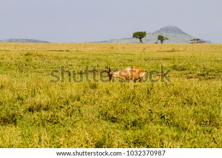 African antelope - the hartebeest (Alcelaphus buselaphus), also known as kongoni in Serengeti National Park, Tanzanian national park in the Serengeti ecosystem in the Mara and Simiyu regions #1032370987