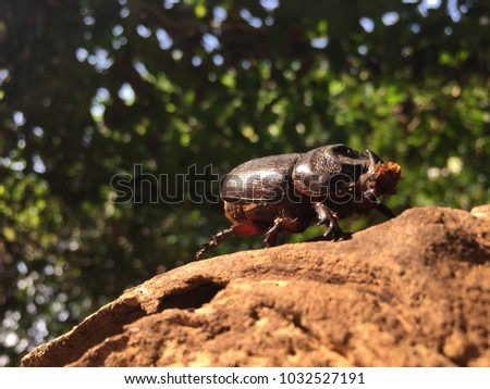 Coconut rhinoceros beetle,Indian rhinoceros beetle,Asian rhinoceros beetle,Oryctes rhinoceros on timber wood,It is a very dangerous insect pest of palm and coconut in Asia,blur background,glare light. #1032527191