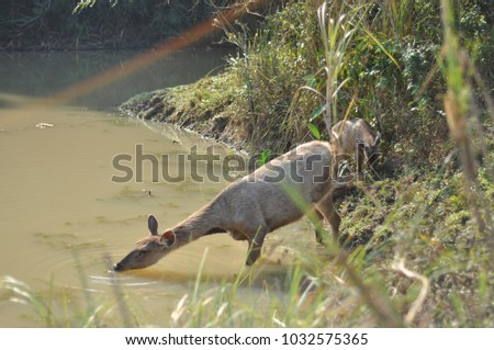 Telephoto Deers drinking in Khao Yai Thailand Natural Park wildlife #1032575365