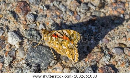 Cosmopolitan butterfly macro #1032661033