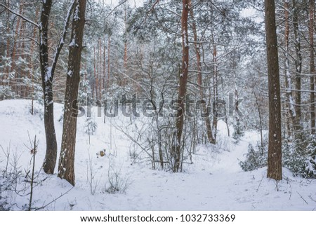 Winter in the Pine Forest. Nature in the vicinity of Pruzhany, Brest region, Belarus. #1032733369