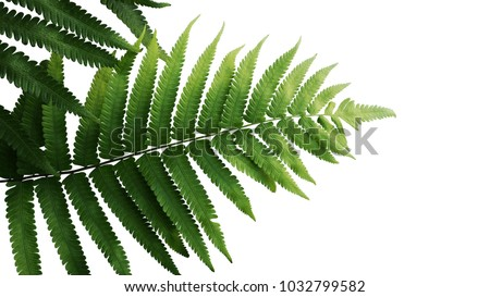 Green leaves fern tropical rainforest foliage plant isolated on white background, clipping path included. #1032799582