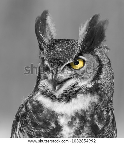 Great horned owl Black and white with yellow eyes portrait