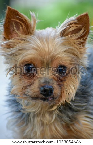 Picture of a Yorkie