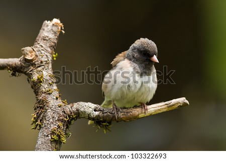 Oregon Junco (Junco hyemalis oreganus) is a genus of small grayish American sparrows. #103322693