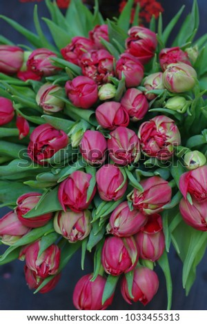 beautiful red tulips for gift #1033455313