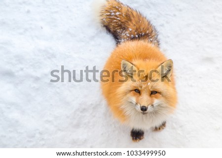 Abstract Background of Brown Fox was sleeping and walking on snow ground so cute but feral. There are too many foxes with hungry face in fox village