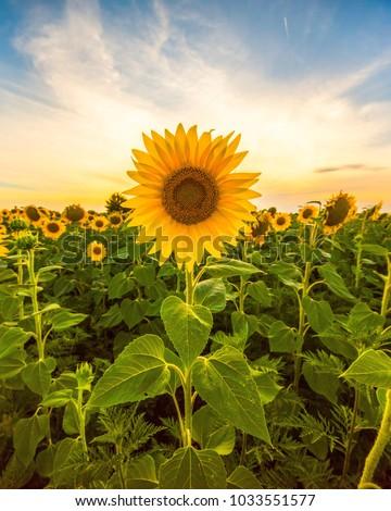 Sunflower field landscape close-up #1033551577