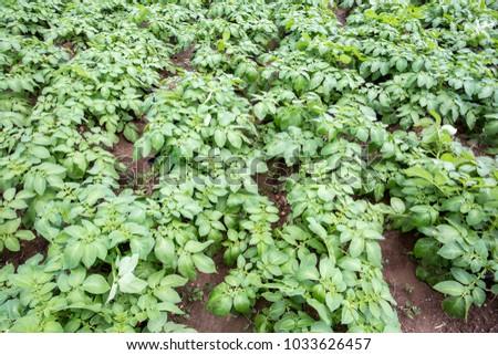 The Potatoes Field #1033626457