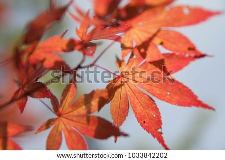 maple leaf autumn #1033842202