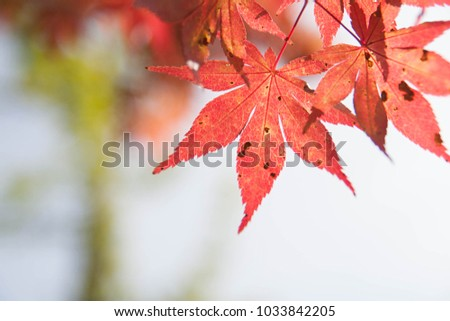 maple leaf autumn #1033842205