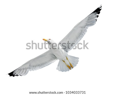 Flying Seagull isolated on white background Royalty-Free Stock Photo #1034033731