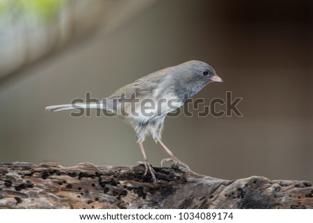 Dark Eyed Junco Stretched to Its Full Height on Piece of Driftwood #1034089174