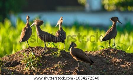 Hammerkops near a maizefield in Blantyre, Malawi. #1034272540