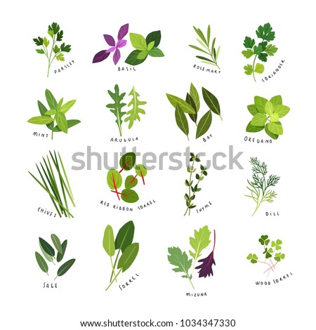 Clip art illustrations of herbs and spices such as parsley, basil, rosemary, coriander, mint, arugula, bay, oregano, chives, red ribbon sorrel, thyme, dill, sage, sorrel, mizuna and wood sorrel #1034347330