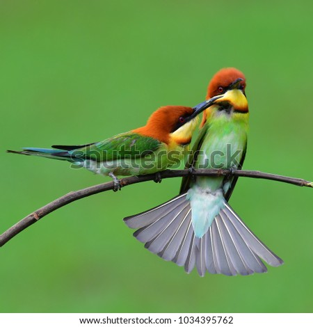 Couple of Chestnut-headed Bee-eater (Merops leschenaulti) Bird perching on a branch. #1034395762