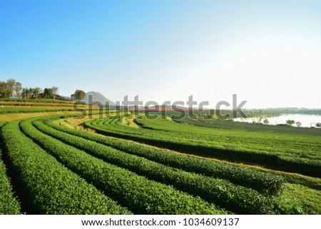Tea Plantation at north of Thailand  #1034609137