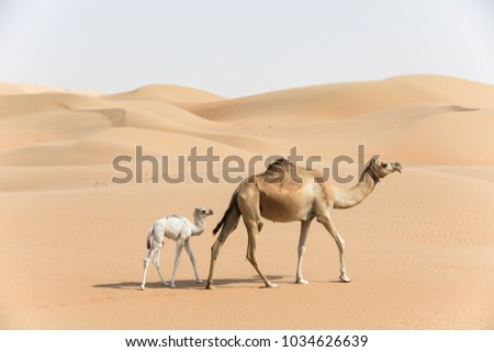 Proud Arabian dromedary camel mother walking with her white colored baby in the desert Abu Dhabi, UAE. #1034626639