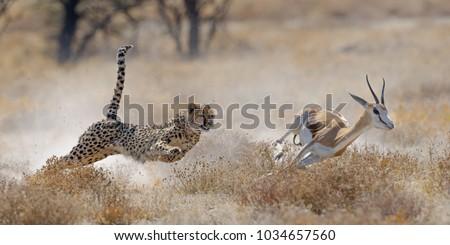 Cheetah hunting springbuck in Etosha National Park #1034657560