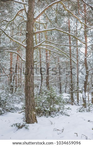 Winter in the Pine Forest. Nature in the vicinity of Pruzhany, Brest region, Belarus. #1034659096