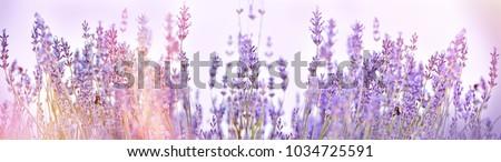 Selective focus on lavender flower in flower garden - lavender flowers lit by sunlight #1034725591