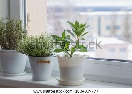 green plants on the windowsill in winter #1034809777