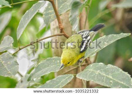 Common Iora bird #1035221332