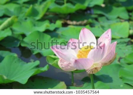 Lotus on puddles #1035457564
