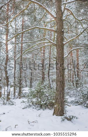 Winter in the Pine Forest. Nature in the vicinity of Pruzhany, Brest region, Belarus. #1035515296