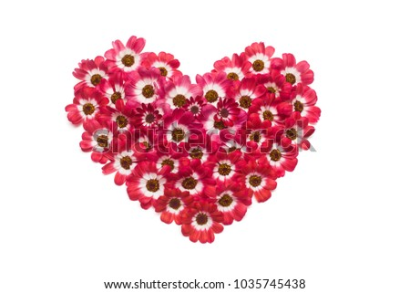 Heart made from flowers of cineraria isolated on white background. Flat lay, top view #1035745438
