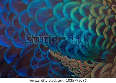Closeup peacock feathers (Indian peafowl) Royalty-Free Stock Photo #1035793096