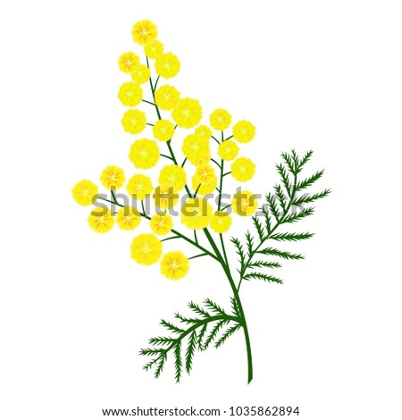 Yellow mimosa flower branch. Vector nature illustration. #1035862894