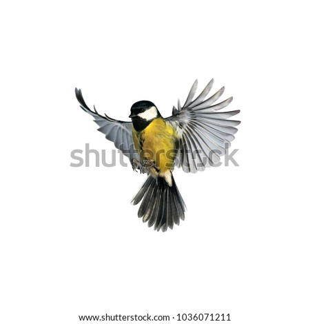 portrait of a little bird tit flying wide spread wings and flushing feathers on white isolated background #1036071211